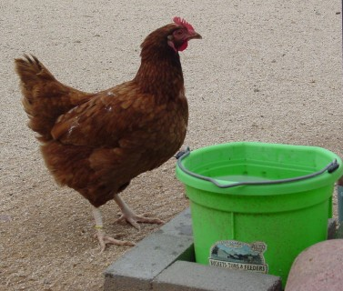 Water Bucket for Standard Chickens