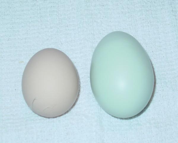 Ameraucana Araucana Or Easter Egger Tbn Ranch Chicken