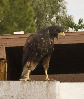 Top Chicken Predators In Urban Phoenix Tbn Ranch Chicken