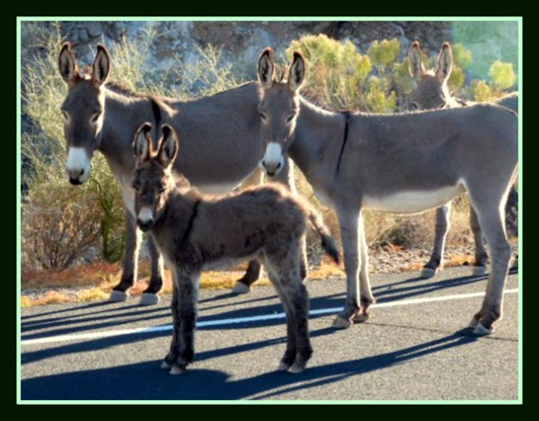Donkey, Ass, Burro, Mule, What They All Mean
