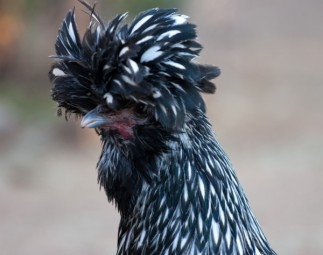 Silver Laced Polish hen