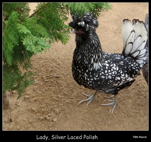 Lady Silver Laced 2013