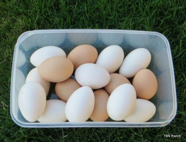 TBN Eggs 2013