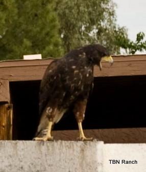 The Enemy, Resident Harris Hawk