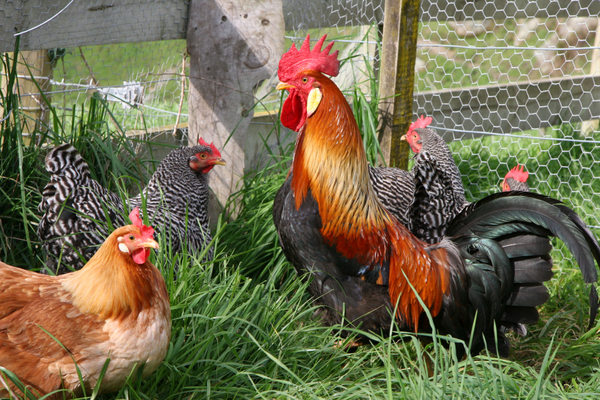 rooster-stock-photo.jpg