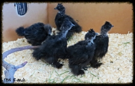 Silkies 5 wks old