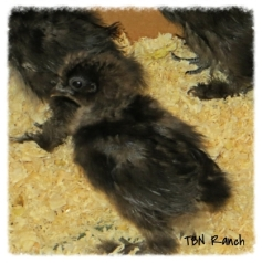 One week old Silkies