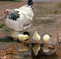day-old-chicks