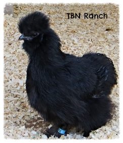 Silkie in Leg Band