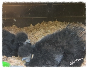 Broody Silkies 5-3-14