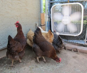 chickens aug 2011 011