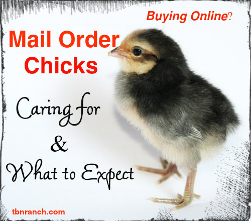 How to Care for your Mail OrderChicks