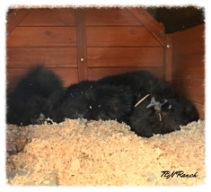 Broody Silkies 10-23-14