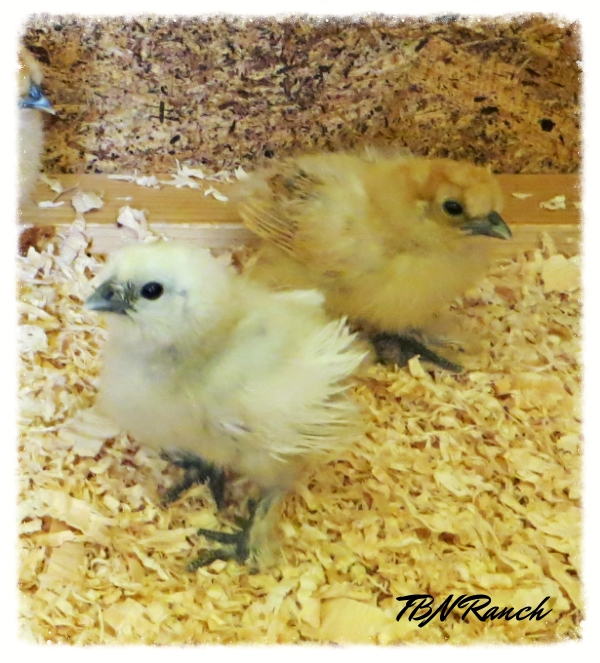 Silkie Chicks 2 10-8-14