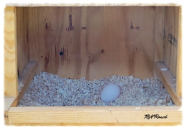 Silkie Egg 10-23-14