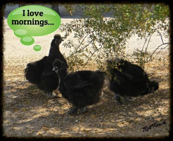 Black Silkies 1-16-15
