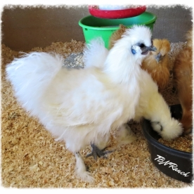 White Silkie Rooster