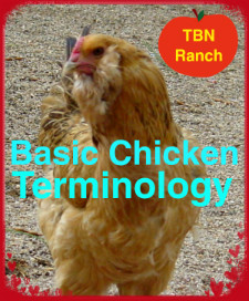 Basic Chicken Terms and Anatomy