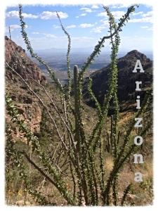 Ocitillo in AZ 3-14-15