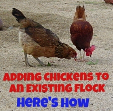 Adding Chickens to an Existing Flock