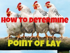 Point of Lay