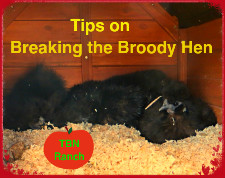 Breaking the broody hen