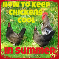 Keeping chickens cool 2
