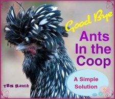 Ants in the Coop