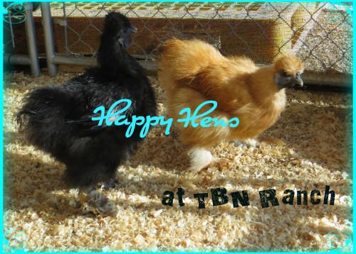 Happy Hens at TBN Ranch