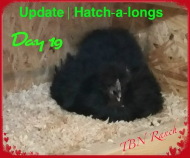 Hatch-a-long update