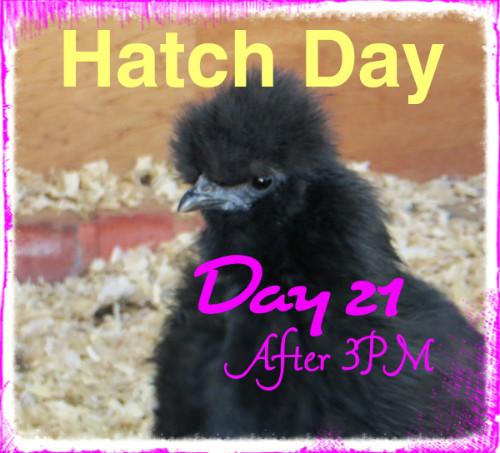 Hatch Day Cochins 15