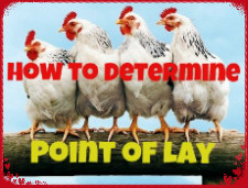Point of Lay 2