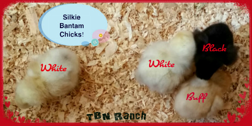 Silkie Bantams DOB 8-24-15