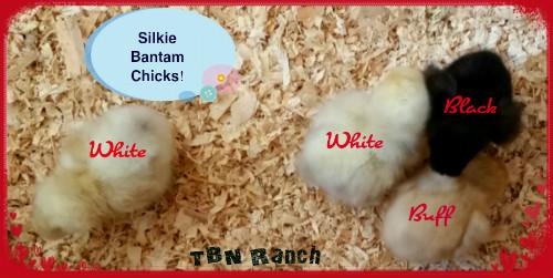 Silkie Bantams DOB 8-24-15