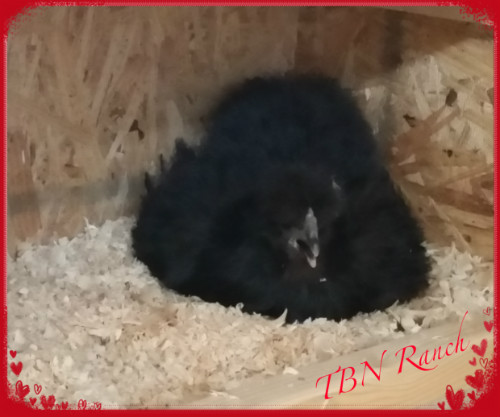 Silkie on Eggs