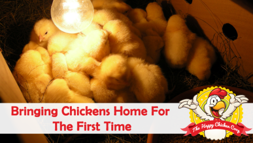 Bringing-Chickens-Home-for-the-First-Time-Blog-Cover