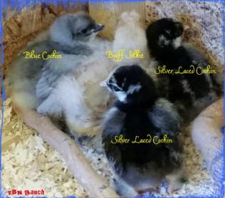 Cochin Chicks