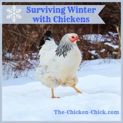 Winter with Chickens