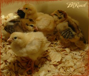 Chicks TBN Ranch 1012