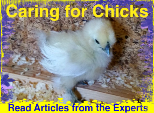 Caring for chicks by experts