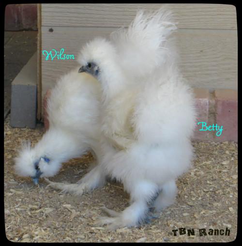 White Silkies 21116
