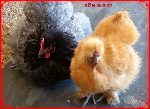 Cochin and Silkie Pullet 32016