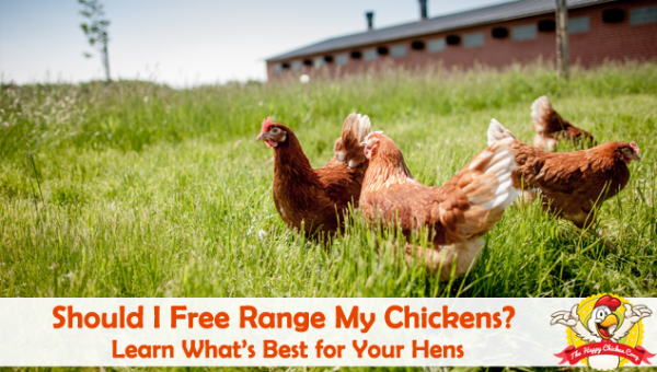Should-I-Free-Range-My-Chickens-Blog-Cover