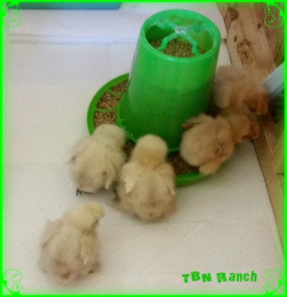 Silkie Chicks 3716