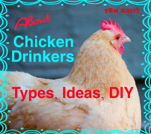Chicken Drinkers