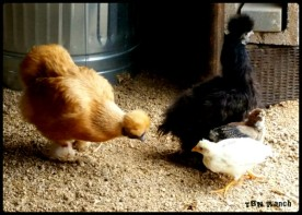 Silkie and Hatch-a-long