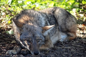 1024px-Coyote_in_Lincoln_Park