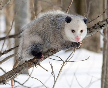 800px-Opossum_2