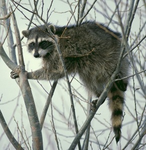800px-Raccoon_climbing_in_tree_-_Cropped_and_color_corrected