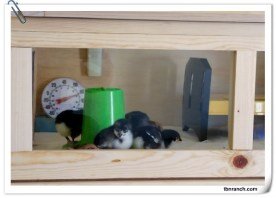 Brooder and Chicks